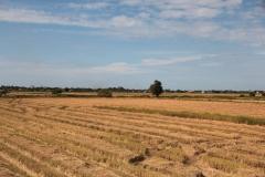 Rice fields of Nickerie