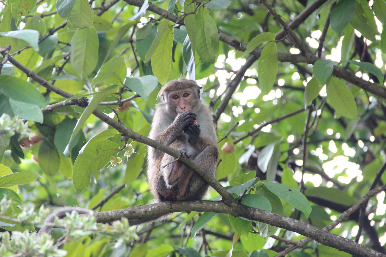 Monkey business at Kandy Green View Bungalow