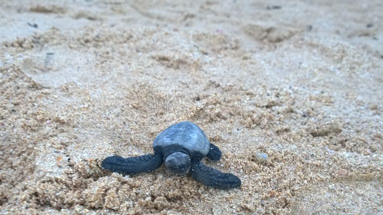Baby turtle Mirissa beach